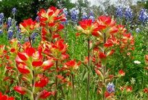 Paintbrushes for Misty / because Misty said she misses fields of Indian Paintbrushes
