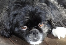 Japanese Chin's / I ❤ this breed :D