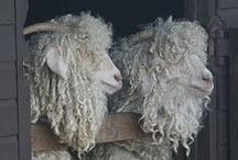 Sheep, Alpaca