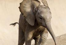 """E L E P H A N T S / """"I have a memory like an elephant. In fact, elephants often consult me"""" - Noel Coward"""