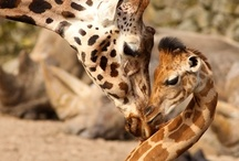 G-Raffs /  I LOVE giraffes. They are so graceful and unique and are so often captured showing great signs of affection, especially toward their young. / by Susan Johnston