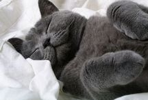 BRITISH SHORTHAIR & OTHERS / CATS AND BUNNIES ARE A GILRS' BEST FRIEND / by April