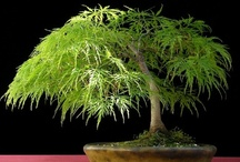 Beautiful Bonsai / by Ann F Luckett