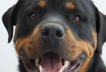 ~ Rottweiler Lover ~ / by Maria 50girl