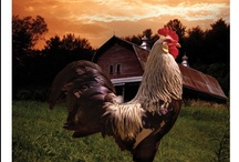 Hens & Roosters / by Laurie Lette