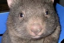 Wombats / Dr. Psych Mom loves wombats!
