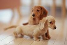 Dachshunds / It's obvious, that I'm obsessed...