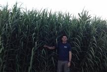 Arundo donax / by Bioenergy Crops