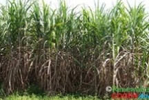 Sugarcane / Sugarcane is already an energy crop producing bioethanol. Most people do not see that electricity by co-generation, provides a much more sustainable when using tropical lands. Inputs are allocated to both outputs: electricity/heat and bioethanol. Additionally, agricultural residues in the field and other energy grasses can allow a bigger co-firing facility improving the whole efficiency then an 1ha of land may produce more and with increased sustainability. / by Bioenergy Crops
