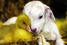 Love & Friendships  in the World of Animals /    Love & friendships between: animals & humans from infants to adults & opposite breeds....rare,endangered,odditys included / by Carene Boykin