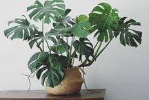Houseplants   Zimmerpflanzen