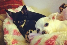 Chihuahua Love / by Kellie Nail