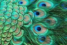 Peacocks / by Deb K