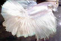 Beautiful Betta's / I love Betta fish and I don't use anything less than a 5 gallon tank.  I use a heater, filter, cave and silk aquarium plants.  I cycle my tank with flake fish food for several weeks, testing for ammonia, nitrites and nitrates with an API kit, before ever buying and acclimating a betta fish to my tanks.  We have reverse osmosis water in house, so I add 6 drops of Replenish, to my replacement water, every week when I clean gravel.  I use 1/4 teaspoon of Neutral Regulator in my replacement water each week, just in case any chlorine or chloramine sneaks through.  I feed 2 New Life Spectrum Betta pellets each day and they love them, so no leftover pellets are present and the water stays cleaner.