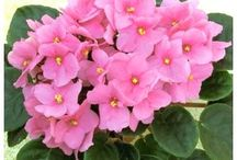 African Violets / I used to raise African Violets under a two shelf plant light stand. I have photos of them in bloom.  My favorite indoor plant.