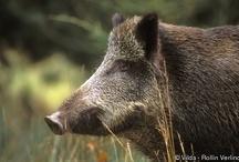 Boars Wild in Berlin Project