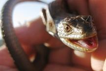 Alligator Lizard Project