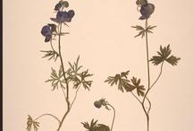 Aconitum delphiniifolium Project