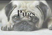 Animals ...Mostly Pugs.