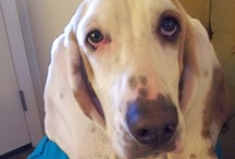 Basset Hound (and friends) Love / by Lotus Peach
