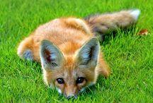 Dachshund   Fox   Owl / by Weez Pilot