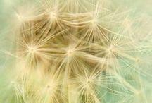 Dandelions / by Debbie Stevens