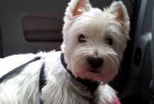west highland white terrier / Missing my Westie Wika !!