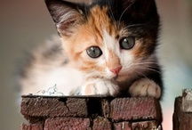 Kittens & Cats / Sweet little Calico / by Mary Sauceman