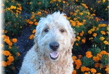 My Golden Doodle Moses