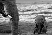 Elephants / Who doesn't love elephants? Dependable, solid and they never forget!
