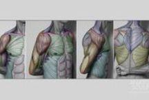 Anatomy for Sculptors - Torso