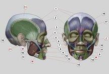Anatomy for Sculptors - Head