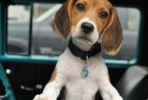 BEAGLES / Nothing cuter than a Beagle, and one will never be enough!