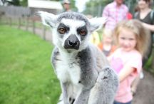 "Inside ""Lemur Encounters"" at Africa Alive! / Lemur Encounters give you a fantastic opportunity to get close to our ring-tailed lemurs, all with their own wonderful personalities they are bound to make you smile!"