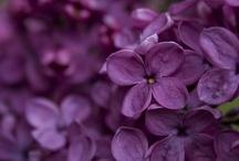 colour ::: purple