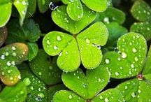 Saint Patrick's Day  |  shamrocks