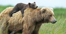 """Ours - Bear / """"L'animal totem de l'ours est emblématique de la force et de la connexion avec l'énergie de la Terre. Cet animal est vénéré dans de nombreuses traditions comme un totem puissant qui inspire ceux qui ont le courage de se battre contre l'adversité. Animal totem en contact avec la terre et les cycles de la nature, l'ours est un guide puissant favorable à la guérison physique et émotionnelle."""""""