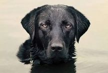 Hunting ~ labrador retrievers / This board is dedicated for life with gun dogs and retrievers