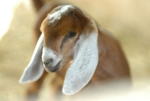 Farm Living / All about farm life! Raising animals, information, helpful hints, and beautiful photos.