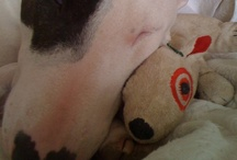 bull terrier love / my beloved bully Daisymae inspires me every day