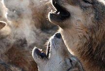WOLF / Kurtlar Wolf