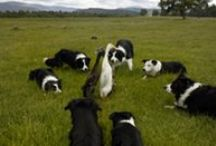Dogs - Border Collies
