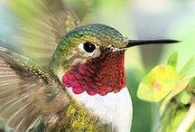 Birds, Hummingbirds