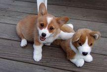 Dogs - Corgis