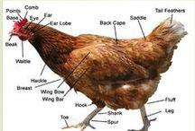 Birds, Chickens