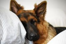 Dogs - German Shepherd Dog
