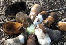 Animals, Guinea Pigs