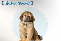 Breed All About It: Dogs / Learn more about the dog breeds that pet parents all across the world call canine companions - and their common health problems / by Petplan Pet Insurance