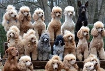 Poodles----for the love of Cinnamon (RIP) / by Audrey Bailey-Burton
