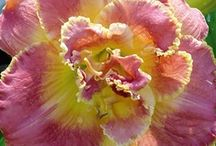Daylily's I Need or Want / by Kathy Green